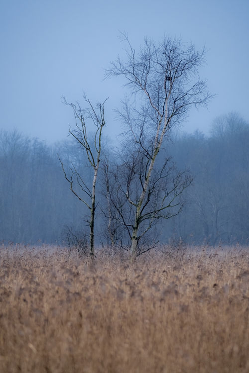 Winter Birch Fresh On Eyeem  Hazy Days Winter Bare Tree Beauty In Nature Birch Tree Branch Day Grey Sky Landscape Lone Nature No People Outdoors Reed Sky Tranquil Scene Tranquility Tree