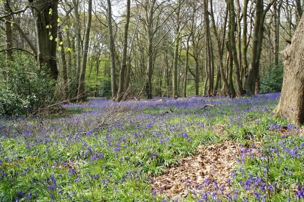 WoodLand Forrest Floor Bluebell Wood Bluebells Springtime Bluebells In The Woods Forest Nature Blue