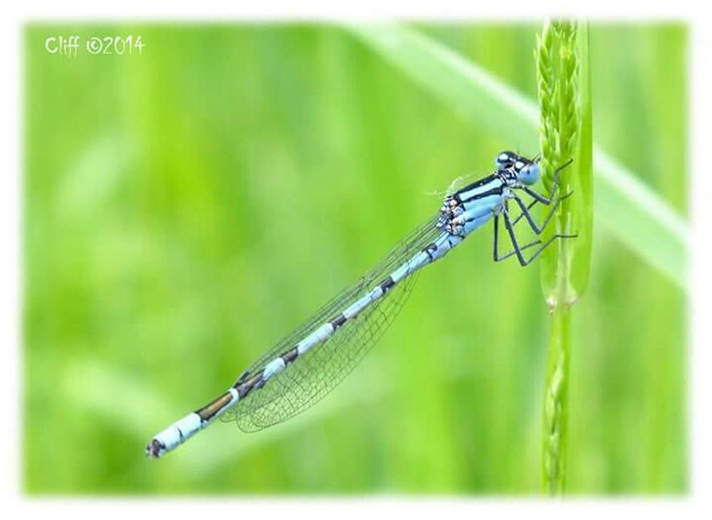 Desmoiselle Insects  Insect Photography Nature Countryside