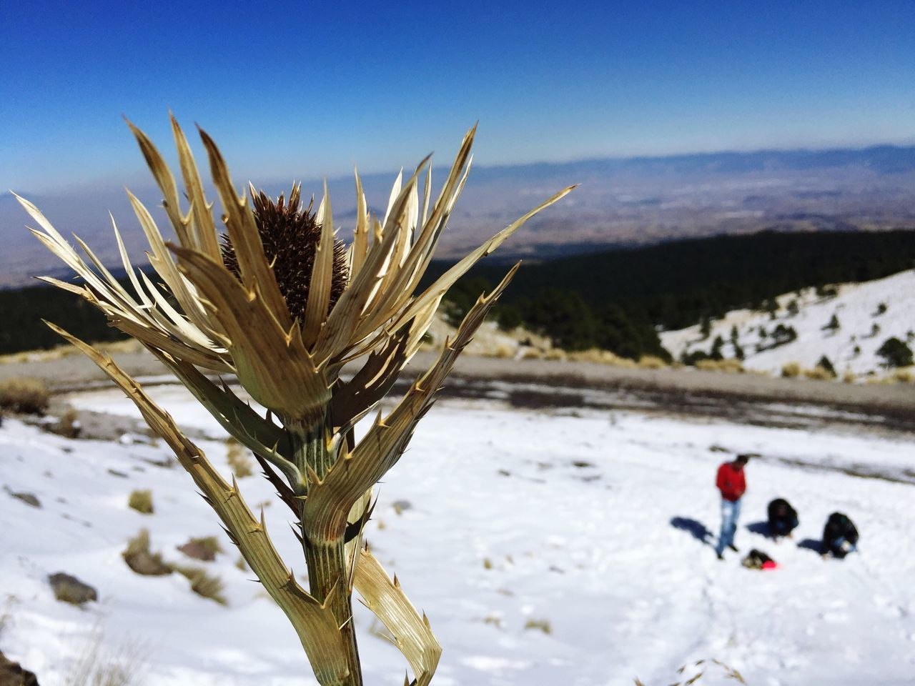 Close-Up Of Plant Against Snow Covered Landscape