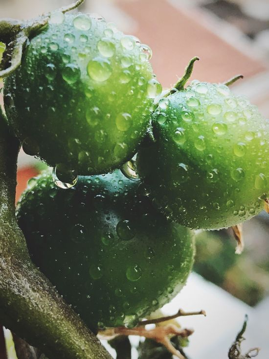 Green Color Drop Close-up Wet Food And Drink Freshness Macro Photography No People After The Rain Healthy Eating Water Day Nature Growth Outdoors Beauty In Nature Tomato Tomatoes Shotoniphone7 Urban Gardening Unripe Unripe Tomatoes Green Tomatoes Vegetables Dew Drops
