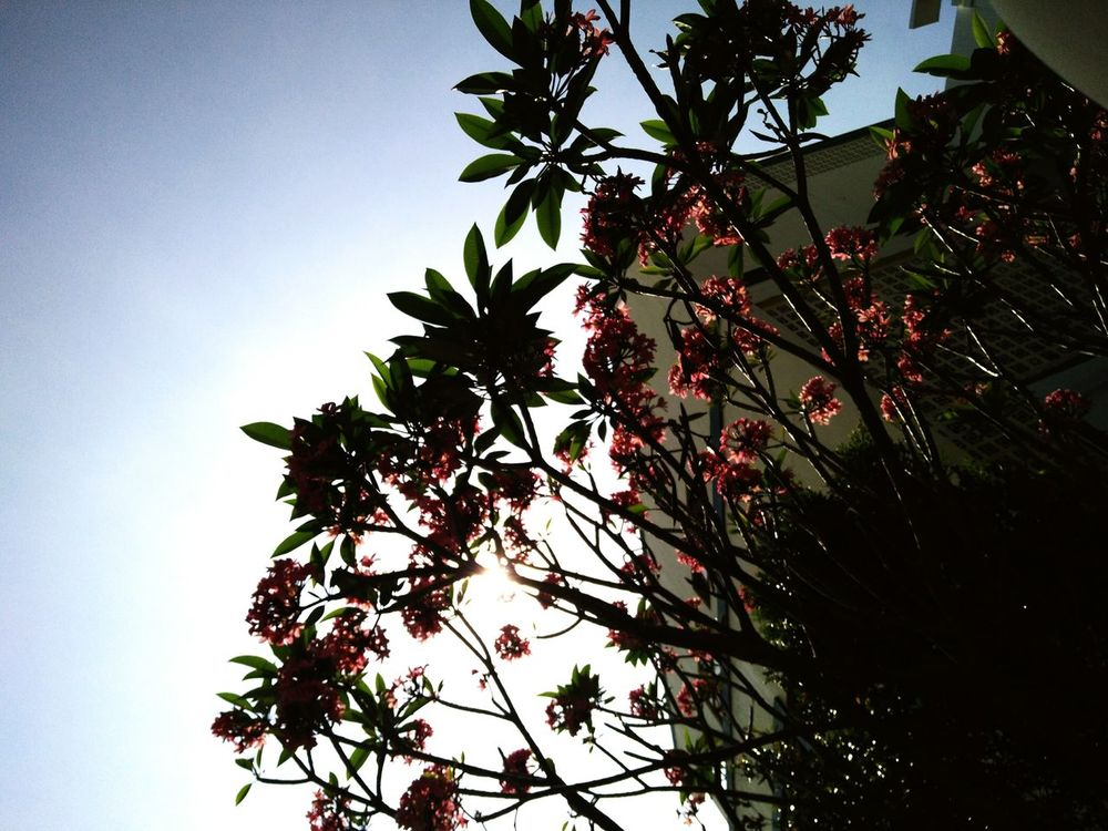 Tree Trees Flowers Flowertree Flowers, Nature And Beauty Flowertrees Sky Sunshine Sun First Eyeem Photo