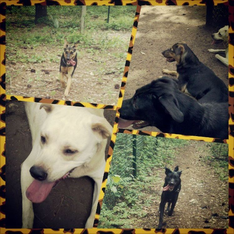 Dog park :) Germansheppard Blacklab Yellowlab Tired mosquitoes theypoopedeverywhere