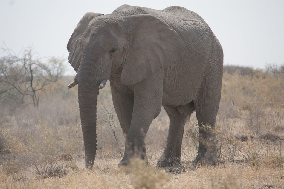 Beautiful stock photos of elephant, Animal Themes, Animals In The Wild, Day, Dry