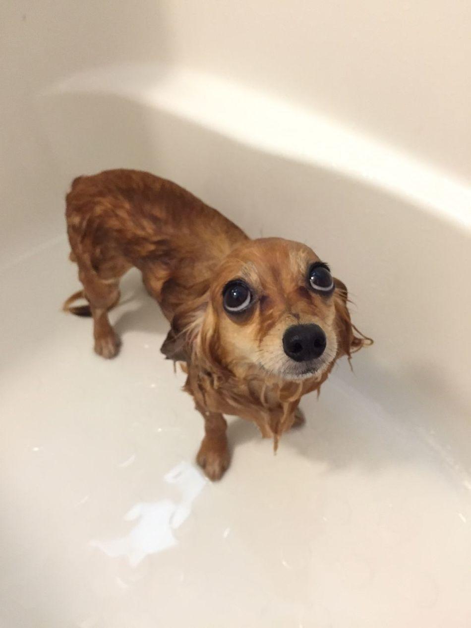 Beautiful stock photos of chihuahua, Animal Themes, Brown, Chihuahua - Dog, Dog