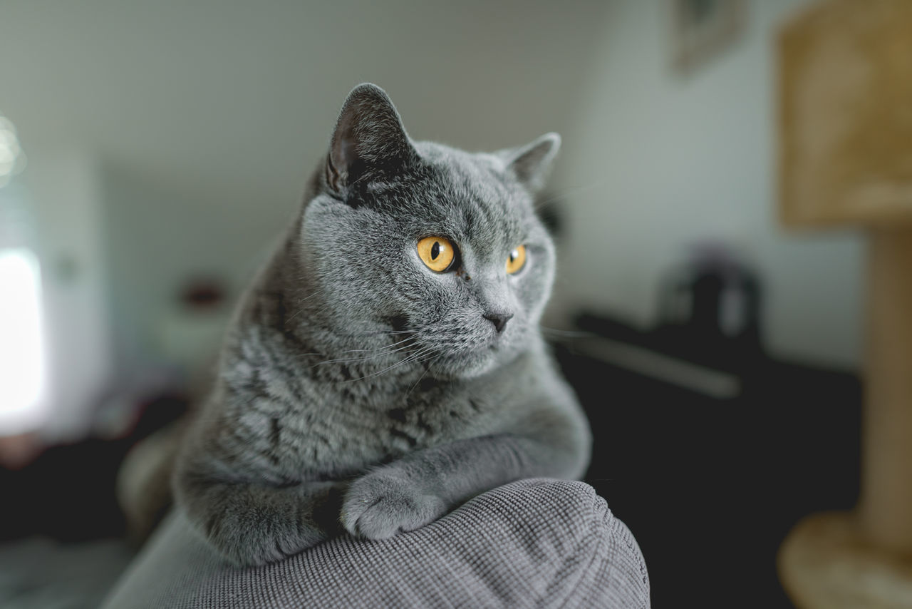 Animal Themes British Shorthair Close-up Day Domestic Animals Domestic Cat Feline Gray Indoors  Mammal No People One Animal Pets Selective Focus Tabby Cat Yellow Eyes