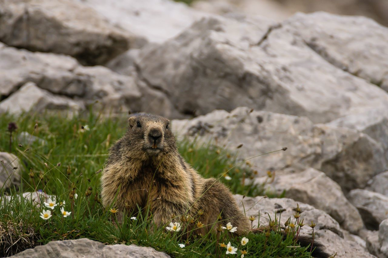 Marmot Murmeltier Animals Wildlife Wildlife & Nature Mountain Germany Bavaria Nebelhorn Oberstdorf Nebelhorn EyeEm Nature Lover Nature Lover Nature Oberstdorf Allgäu