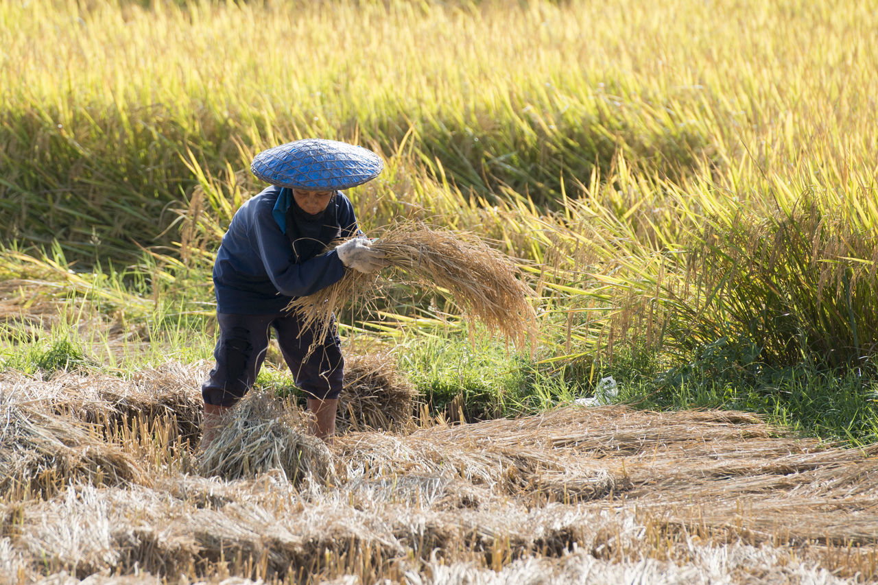 agriculture, field, farmer, farm, working, rural scene, grass, crop, harvesting, real people, one person, occupation, nature, farm worker, hay, cereal plant, growth, straw, outdoors, day, haystack, full length, wheat, men, lifestyles, rice paddy, beauty in nature, adult, mammal, adults only, people