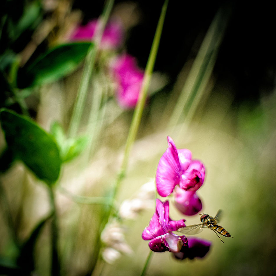 Lathyrus tuberosus • Episyrphus balteatus Beauty In Nature Close-up Day Flower Flower Head Fly Fragility Freshness Growth Insects  Leaf Nature No People Outdoors Petal Pink Color Plant Nikonphotography