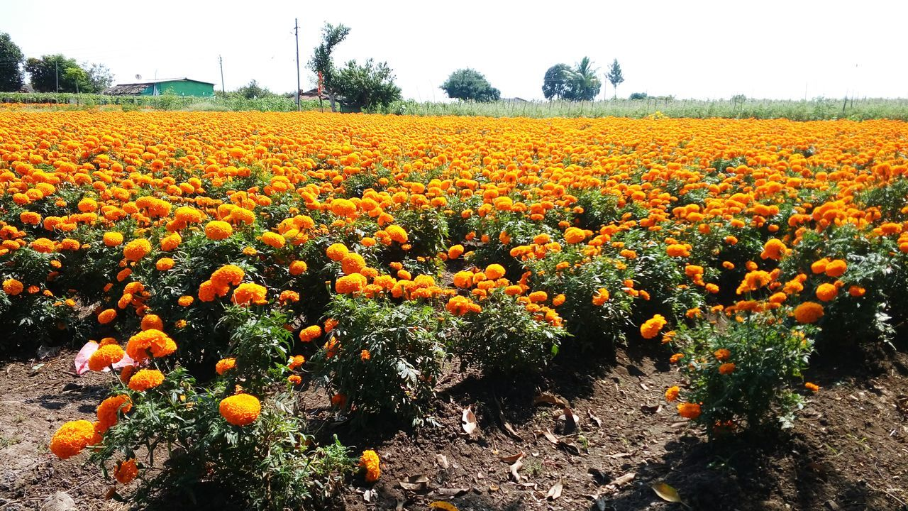 Outskirts Of Town Nasik Flower Freshness Nature Outdoors Day Scenics Cloud - Sky No People Landscape