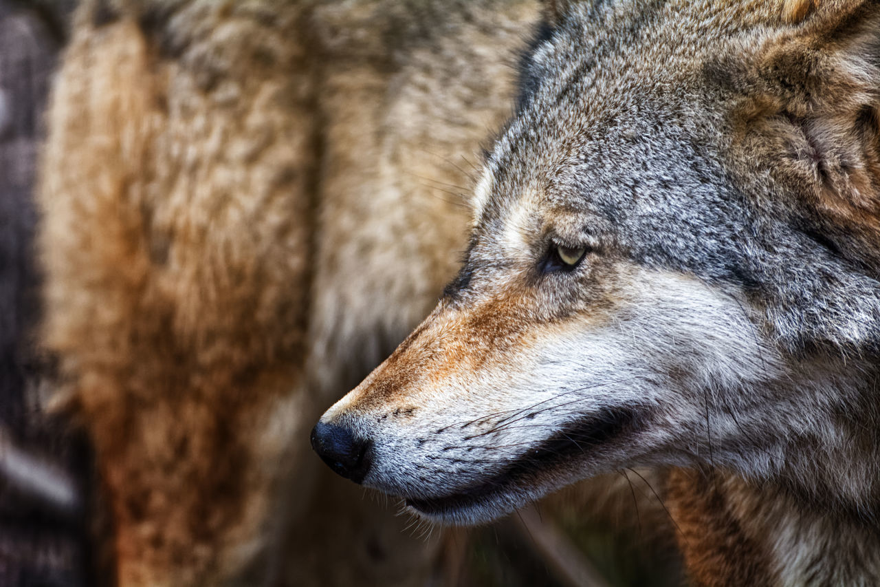 Wolf *ortrait Animal Themes Animal Wildlife Animals In The Wild Close-up Day Mammal Nature No People One Animal Outdoors Wolf