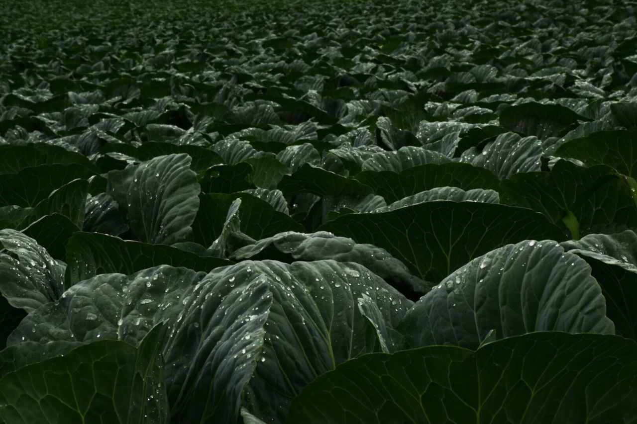 Field Cabbages Farm Light And Shadow Creative Light And Shadow Beautiful Nature Nature Photography Colour Of Life Color Palette EyeEm Nature Lover Exceptional Photographs Green Summer Views