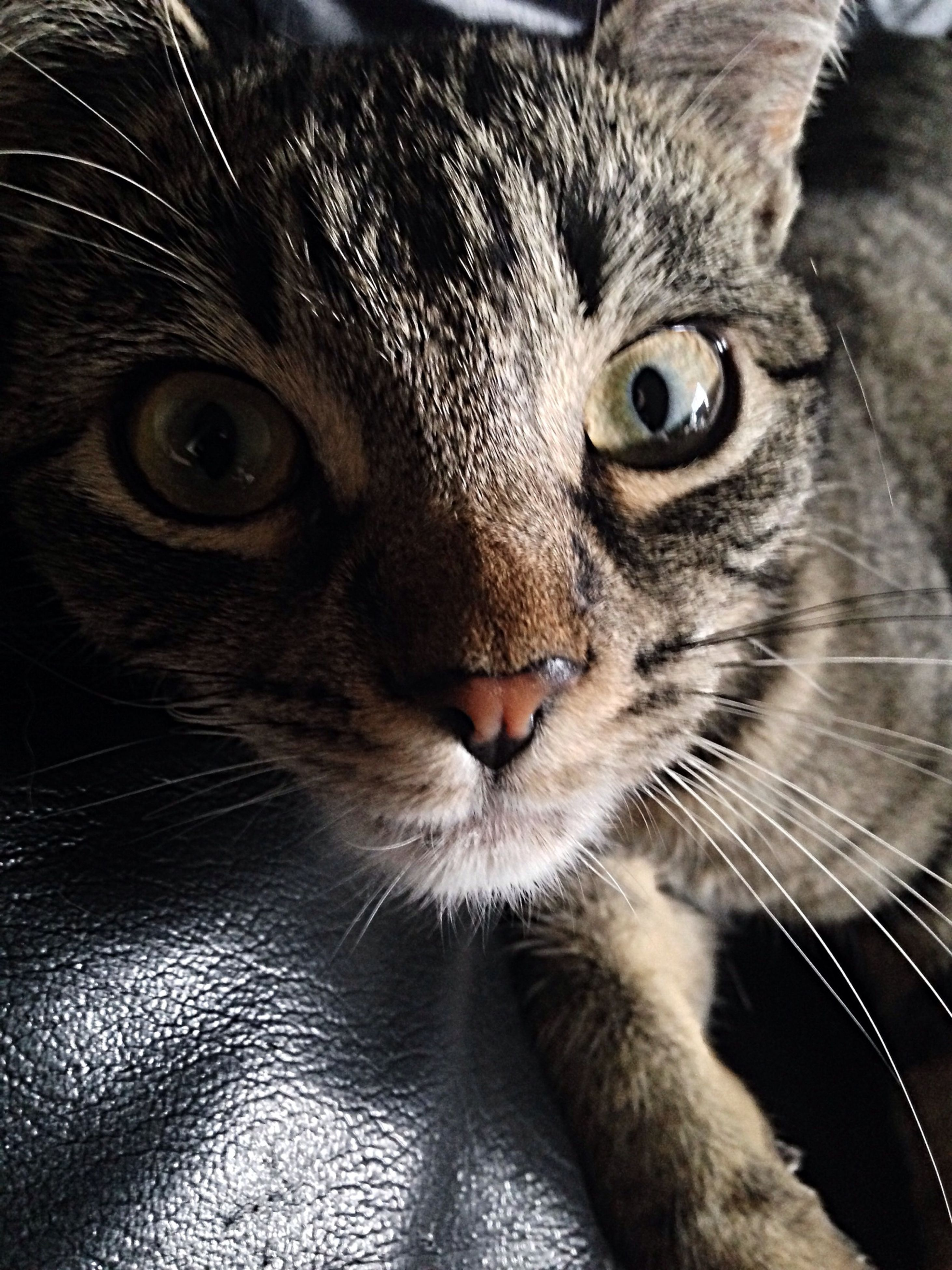 domestic cat, cat, pets, one animal, domestic animals, animal themes, feline, indoors, whisker, mammal, looking at camera, portrait, close-up, animal eye, animal head, staring, alertness, animal body part, high angle view