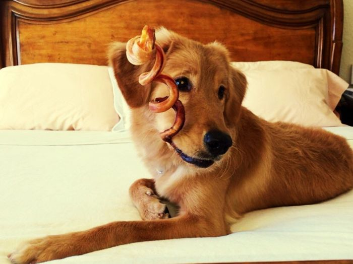 Goldenretriever Dog Bone Portrait Bed Dog Pets Relaxing Animal_collection Golden Retriever Dogslife