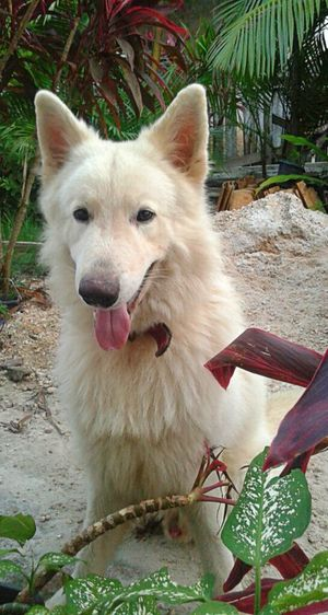 my cute!!! love you!!! Dog Beautiful Animals  Berger Blanc Suisse Pet Photography