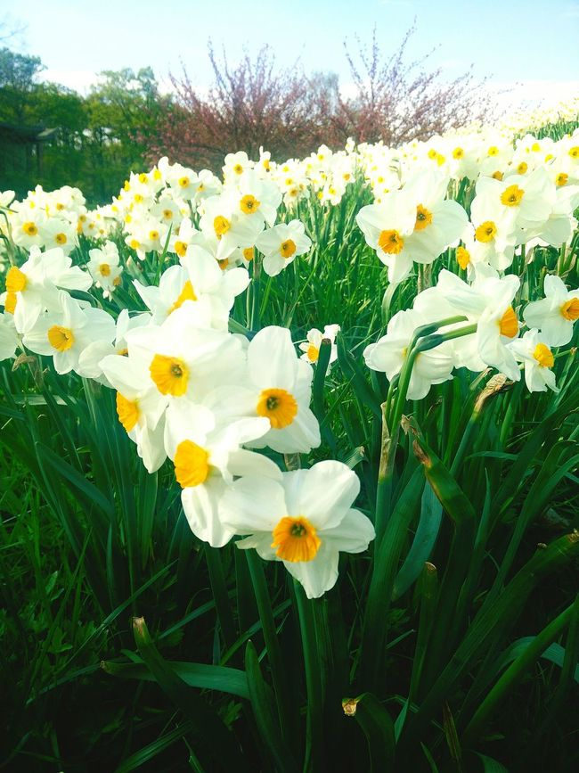 Springtime Flowers Parc Floral De Paris Hanging Out Beautiful Nature Narcissus Enjoying Life Relaxing Beautiful Day