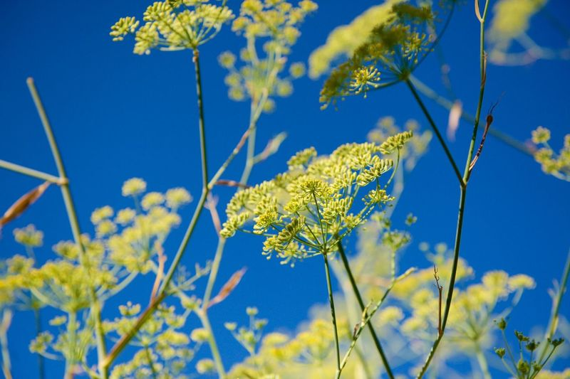 Dill flowers against blue sky. Blue Sky Colour Of Life Dill Flowers Dill Seeds Herb Plants And Flowers