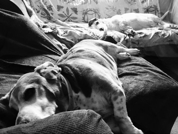 Just relaxed hounds at home Animal Themes Domestic Animals Pets Sleeping Relaxation Close-up Bassetmoments Iphonephotography Ilovemybassethounds Bassethoundadventures Bassethoundsare Best Seniorhoundsrock Pampered Pooch Caughtinthemoment