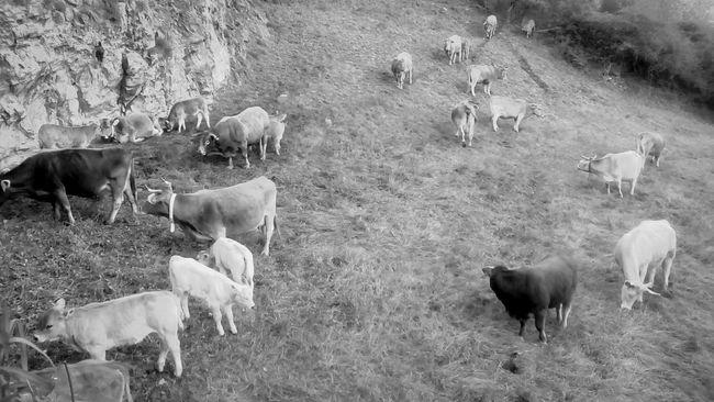 Current view Open Edit Monochrome_life Blackandwhite Monochrome Cows