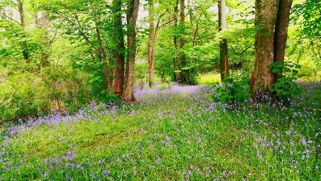 The Essence Of Summer Bluebells. Wild [plant. Nature. Blue Culloden Scotland Walk Forestwalk Forest Path Bluebells Trees