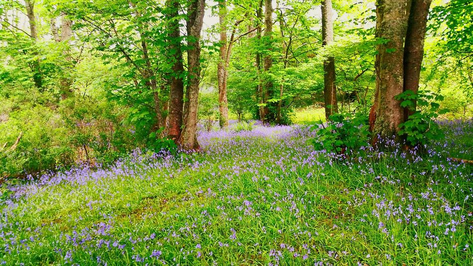 The Essence Of Summer Bluebells. Wild [plant. Nature. Blue Culloden Scotland Walk Forestwalk Forest Path Bluebells Trees