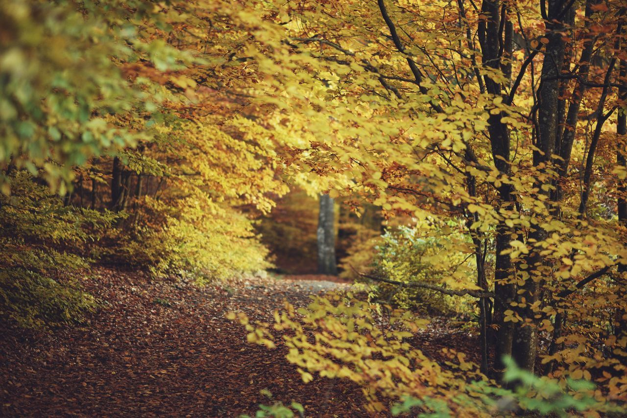 Autumn Autumn Autumn Colors Autumn Leaves Beauty In Nature Day Fall Fall Beauty Fall Colors Fall Leaves Leaf Leaves Nature Nature Nature Photography Nature_collection No People Outdoors The Way Forward Tree Tree Tree Trunk Trees Trees And Sky Yellow
