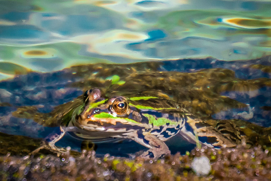 Beautiful stock photos of frosch, Animal Head, Animal Themes, Clear, Close-Up