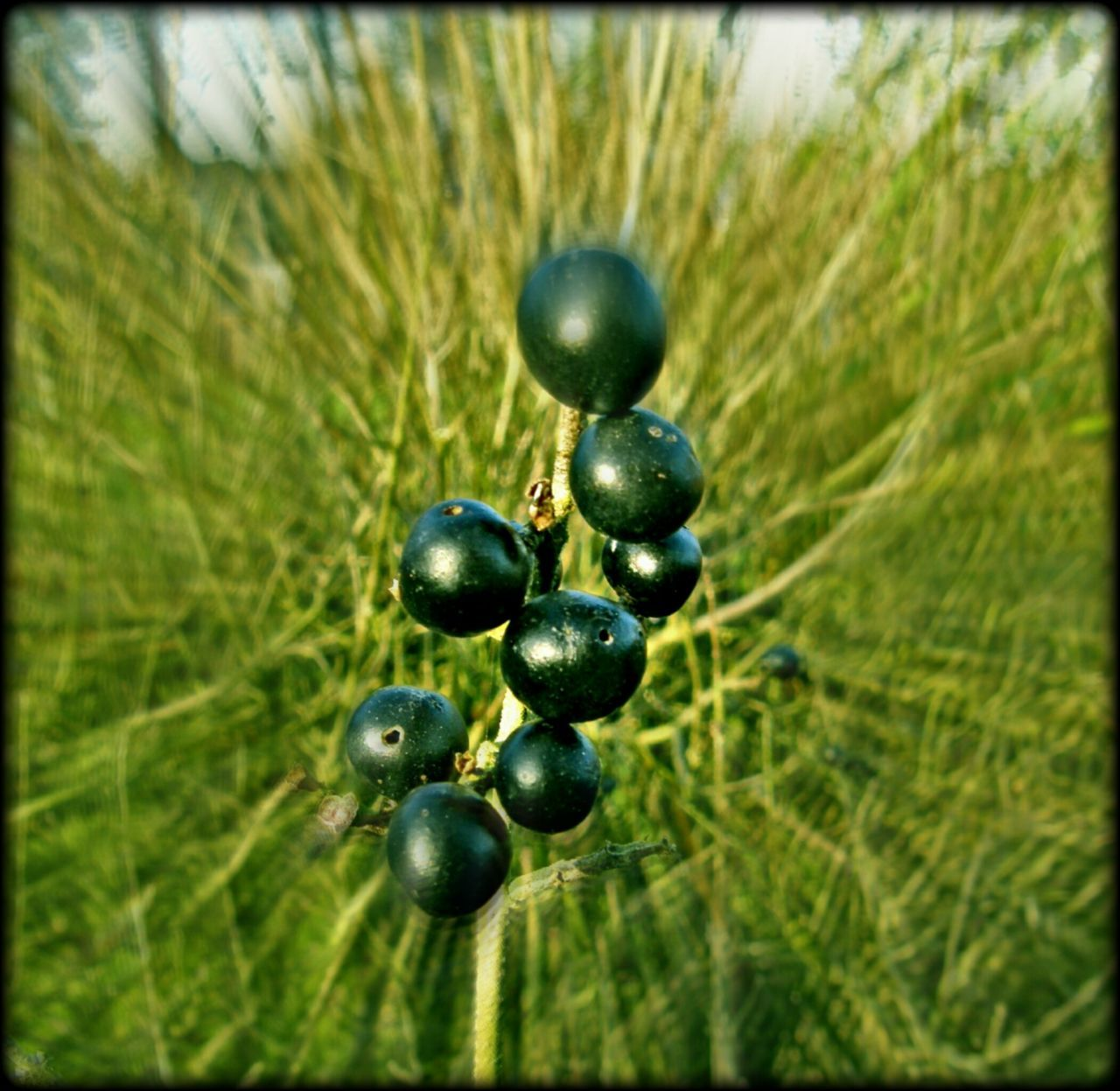 Plants 🌱 Berrys Black Color Beauty In Nature Outdoor Photography No People