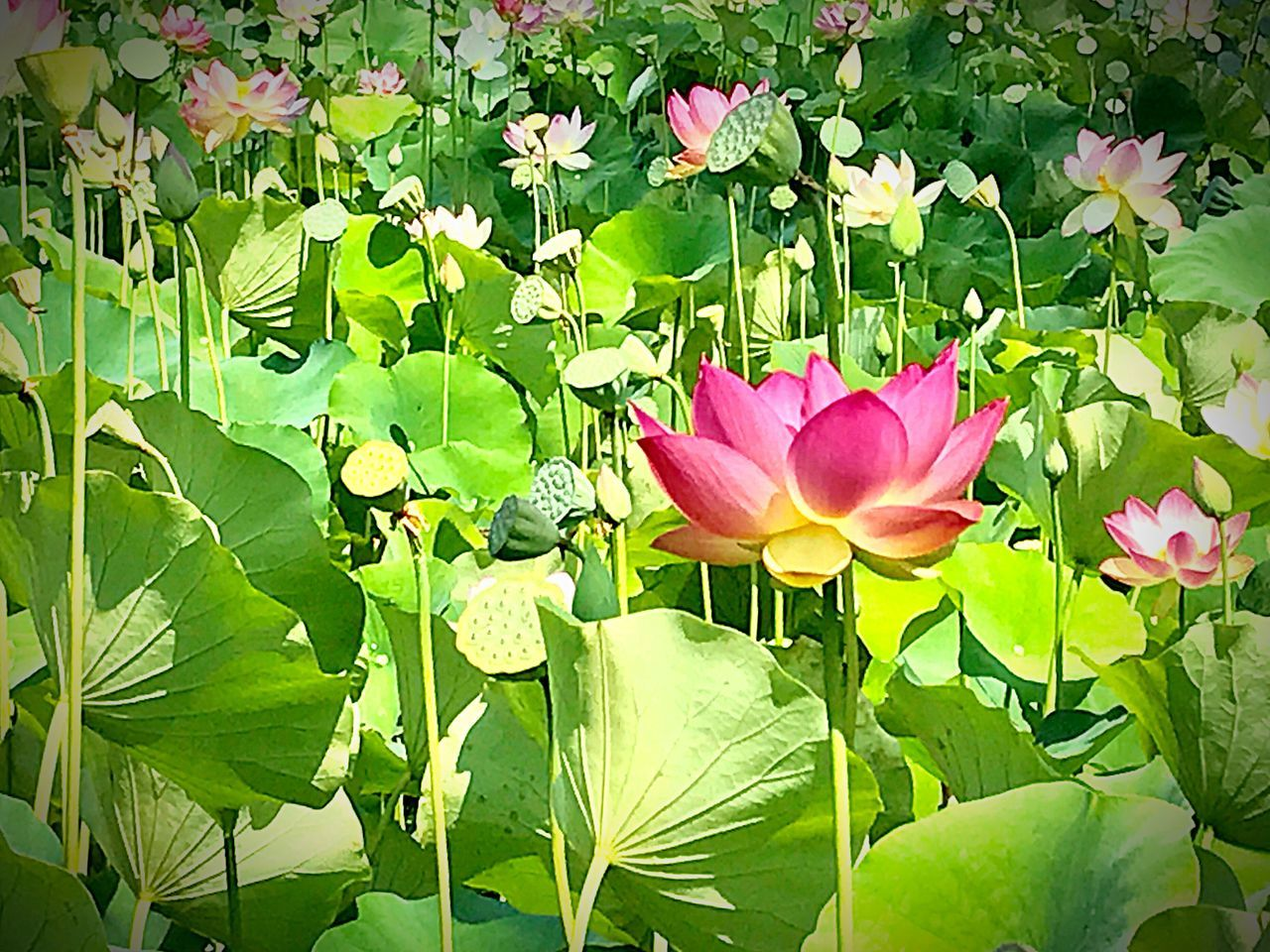 flower, leaf, nature, beauty in nature, petal, freshness, flower head, green color, growth, fragility, lotus water lily, plant, pink color, water lily, outdoors, no people, day, springtime, close-up