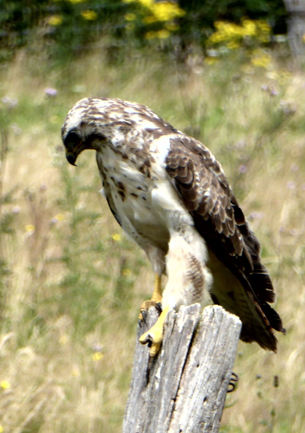 Animals In WildlifeMäusebussard Common Buzzard Animals In The Wild Birdwatching Birds_collection Birds Of EyeEm  Magicmoment Nature Photography Beautiful Nature Naturelovers Animals Posing On The Way Birds In The Wild Adventure Club Showcase July