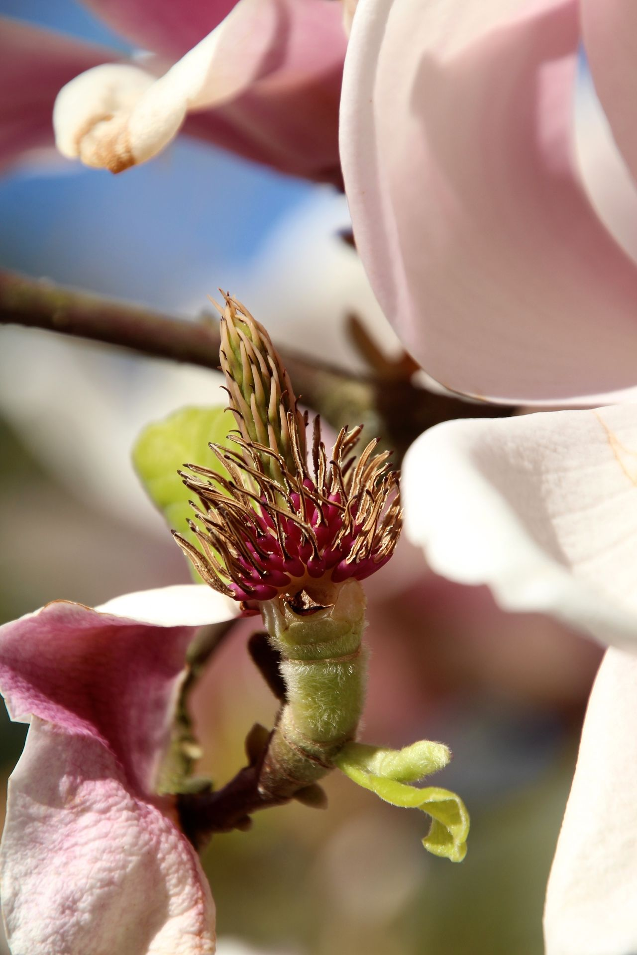 Beautiful stock photos of magnolia, Beauty In Nature, Bud, Close-Up, Day