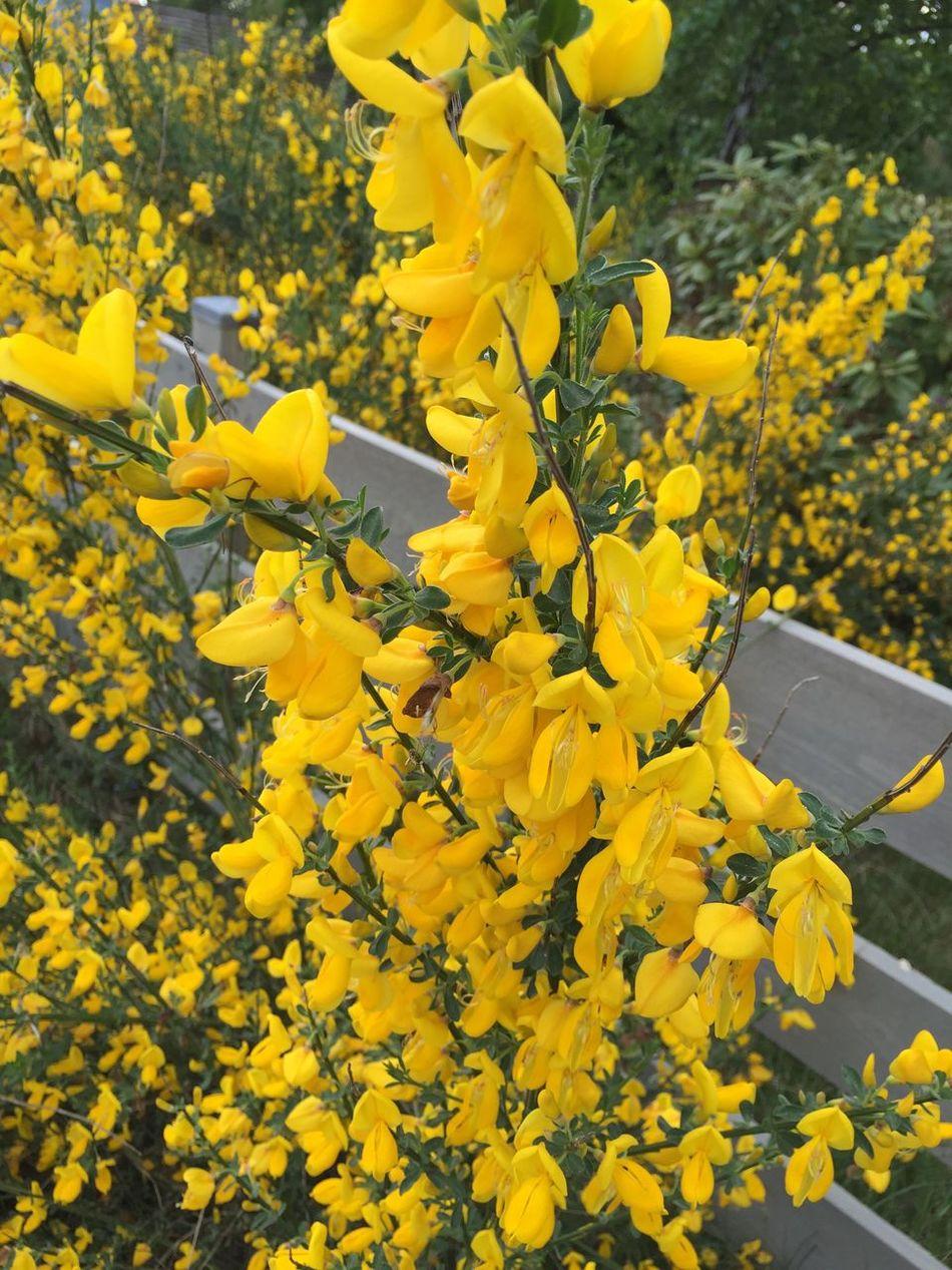 Ginst Flower Of Halland Spring 2016 Frösakull Yellow Flower Sweden
