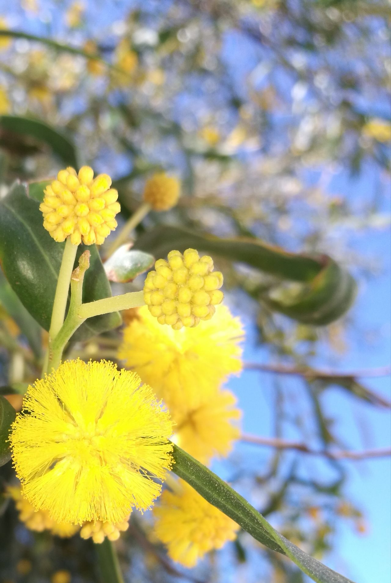 Yellow Flower Nature Growth Beauty In Nature Fragility Branch Close-up Petal Freshness No People Springtime Blossom Outdoors Tranquility Flower Head Day Mimosa Acacia Tree