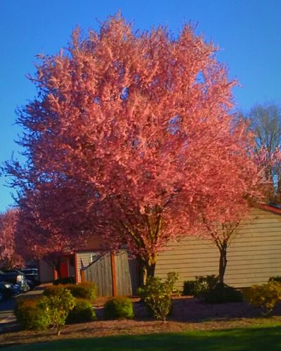 Tree Nature Growth Sky Beauty In Nature Change Leaf Outdoors No People Flower Scenics Architecture Think Pink! Still Life Photography Sunny Day In Spring😍 Oregon Beautiful Eyeem Market Tadaa Community EyeEm Gallery Oregonlife Original Experiences Streemzoofamily Getty Images Tahdah Moment Millennial Pink