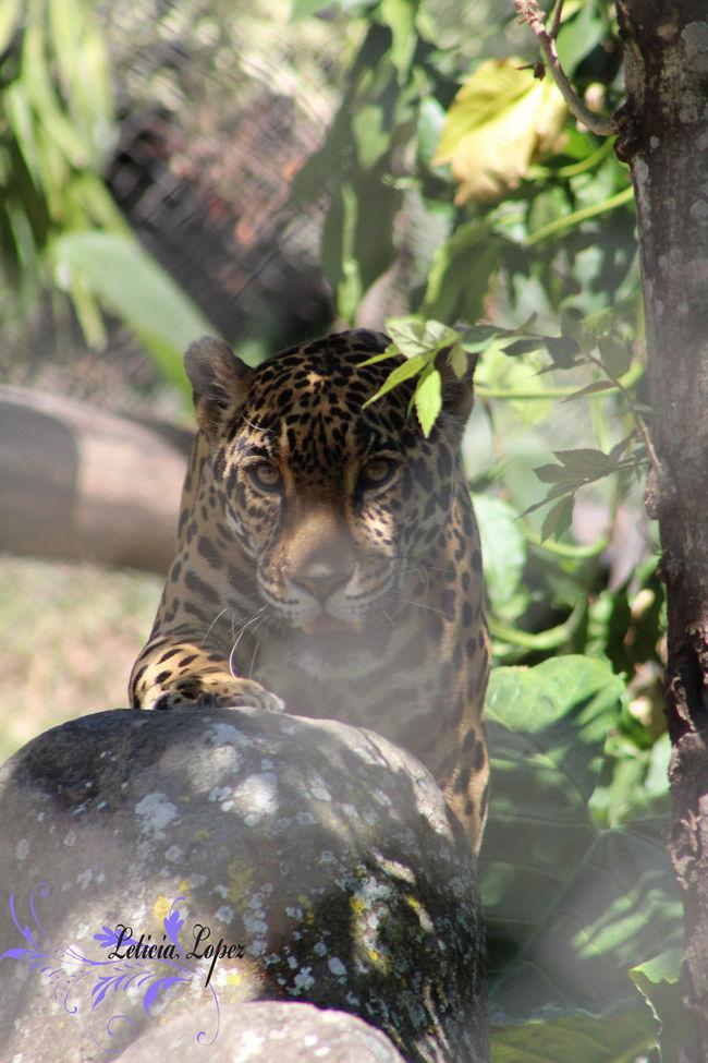 Animals El Salvador City Fureza Guepardo Jungle