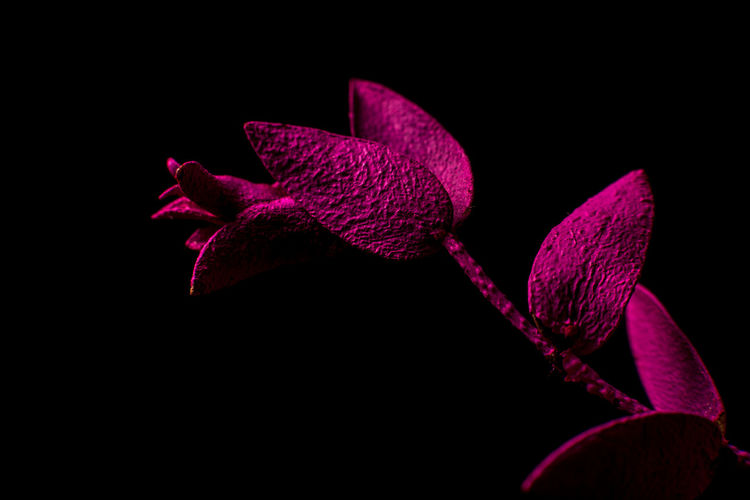 Plant Leafs Magenta Black Background Minimalism Floral Closeup Close-up Close Up Macro Macrophotography Macro_flower Macro Beauty