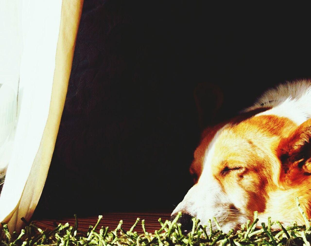 rear window Corgi Welsh Corgi Washington State Rescue Dog I Love My Dog