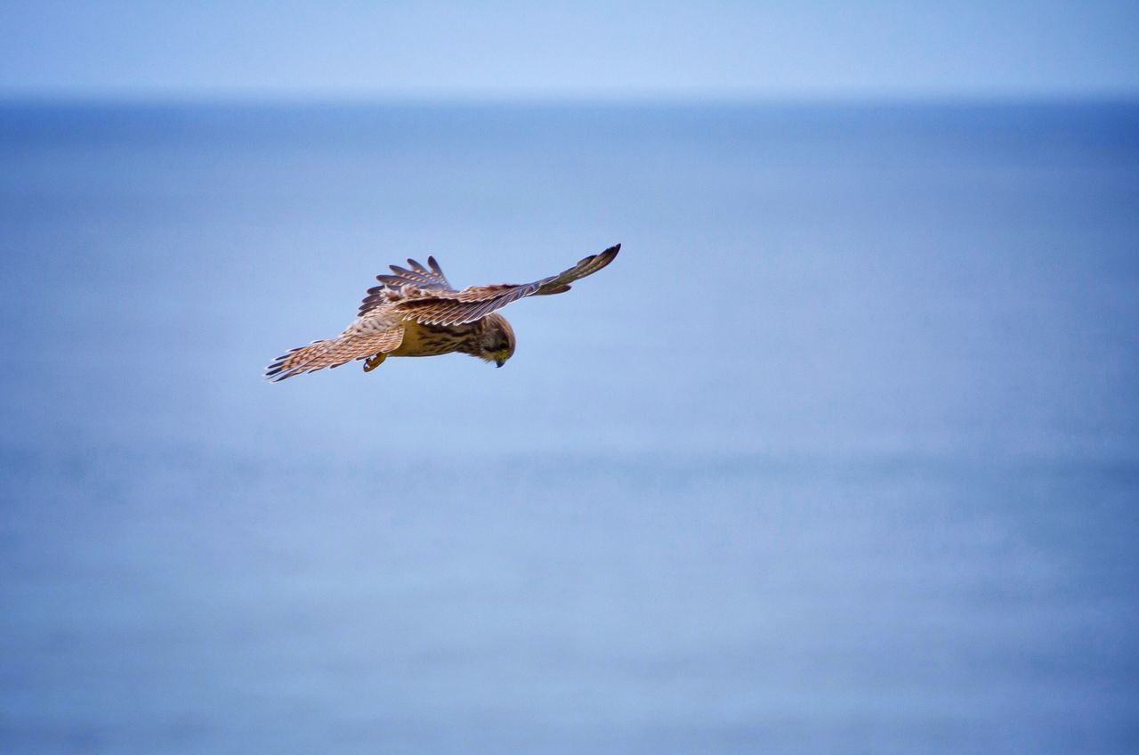 Bird Seahawk Animal Wildlife Sea Flying Beauty In Nature Coast Nature Wind EyeEm Nature Lover Outdoors Capturing Freedom