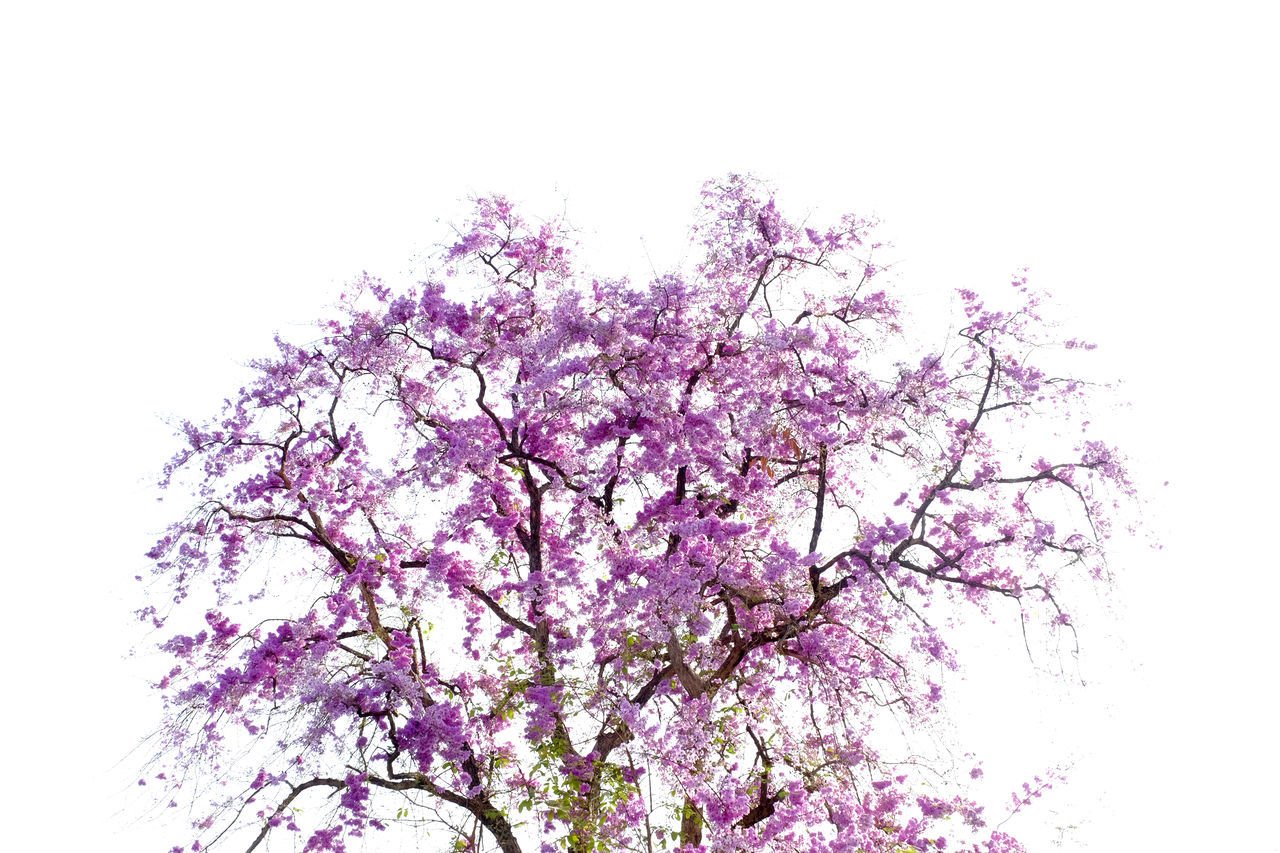 Beauty In Nature Blossom Branch Close-up Day Flower Flowers Fragility Freshness Growth In Bloom Lagerstroemia Speciosa Low Angle View Nature No People Outdoors Springtime Tree Tree