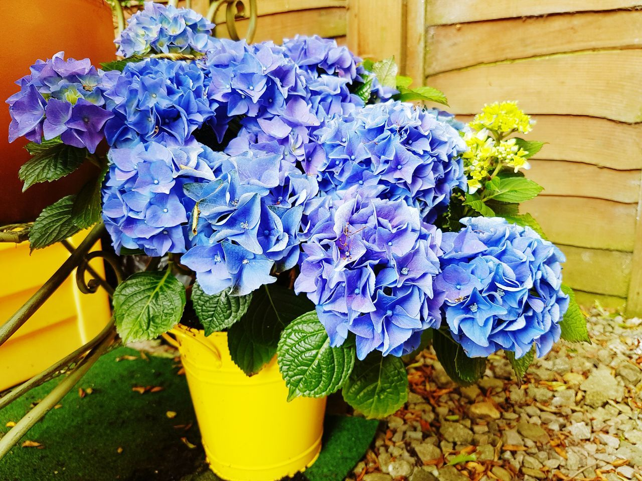 Acidic beauty Flower Plant Nature Growth Potted Plant Beauty In Nature No People Fragility Blue Flower Pot Freshness Flower Head Day Outdoors Close-up Hydrangea Hydrangeas Hydrangea In Bloom Hydrangea Flower Hydrangea Blue Blue Hydrangea Blue Flower Blue Flowers Bucket Yellow