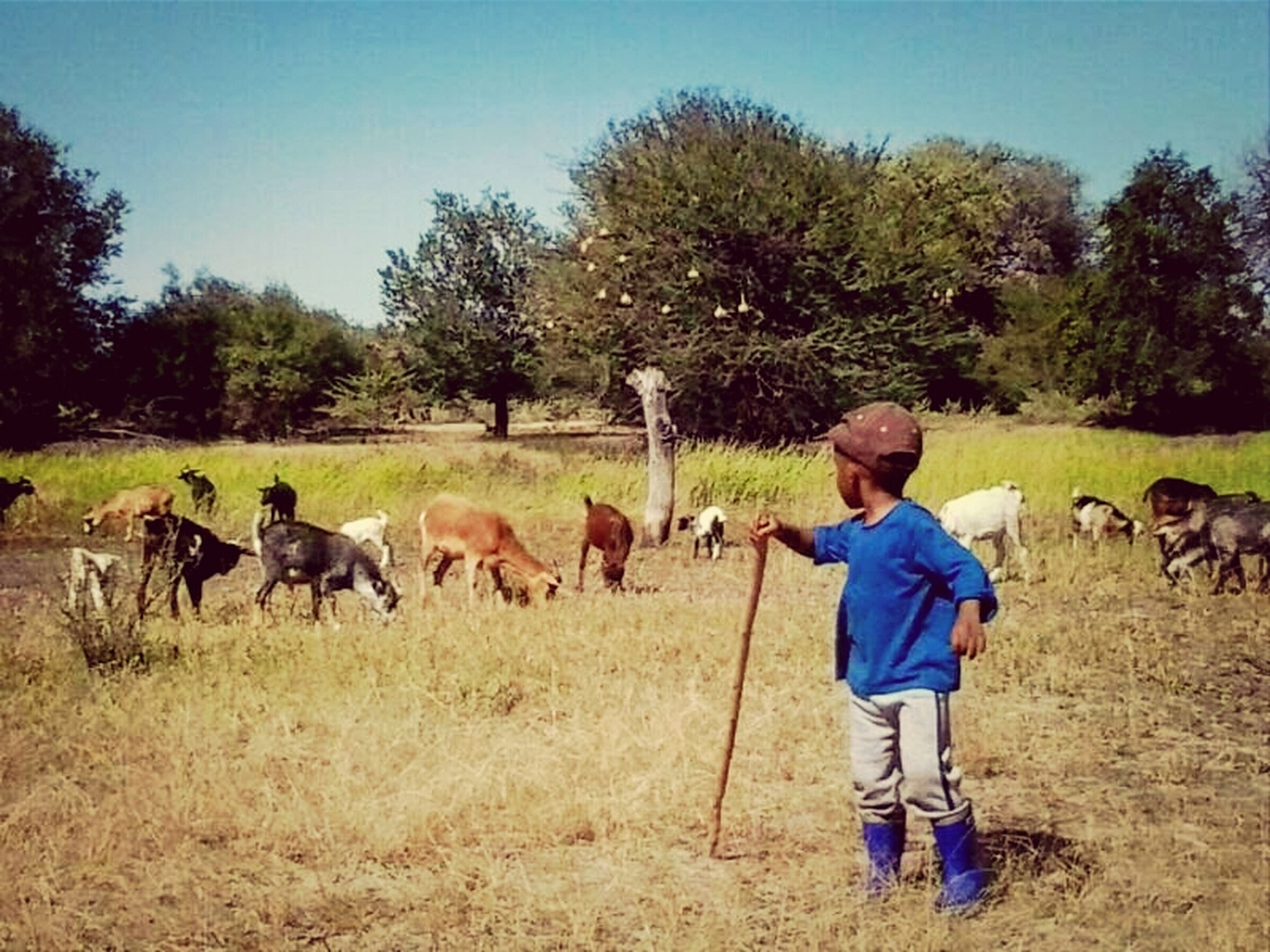 animal themes, domestic animals, mammal, field, tree, togetherness, grass, livestock, childhood, full length, lifestyles, boys, leisure activity, clear sky, rural scene, casual clothing, two animals, nature