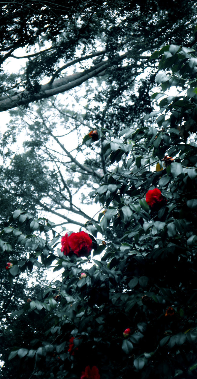 tree, nature, growth, red, branch, beauty in nature, flower, low angle view, no people, fragility, day, petal, plant, freshness, winter, outdoors, snow, leaf, cold temperature, flower head, close-up