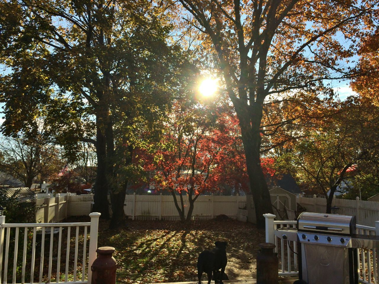 Sunrise Fall 2016 06516 Backyard Leaves Autumn Fall Fields And Sky Sun Through Trees Japanese Maple trees leaves Trees #leaves sunlight warm color Dukey Backdeck Home Sweet Home Home Sweet Home🏠 Connecticut Love My Trees