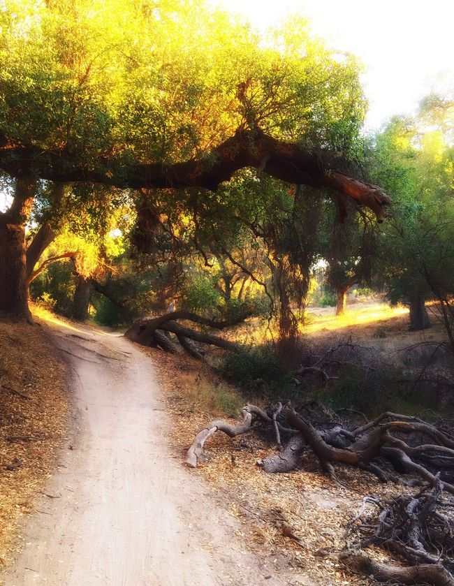 Hiking Trail Hiking IPhoneography Hikingadventures Hiking Trip California Calm Peace And Quiet Nature Nature_collection Nature Photography EyeEm Nature Lover Grove Trees Orange County SoCal Glen Ranch Sunny Day Forestwalk Trailblazers_rural Bike Trail Iphoneonly Picnic Travel Walking