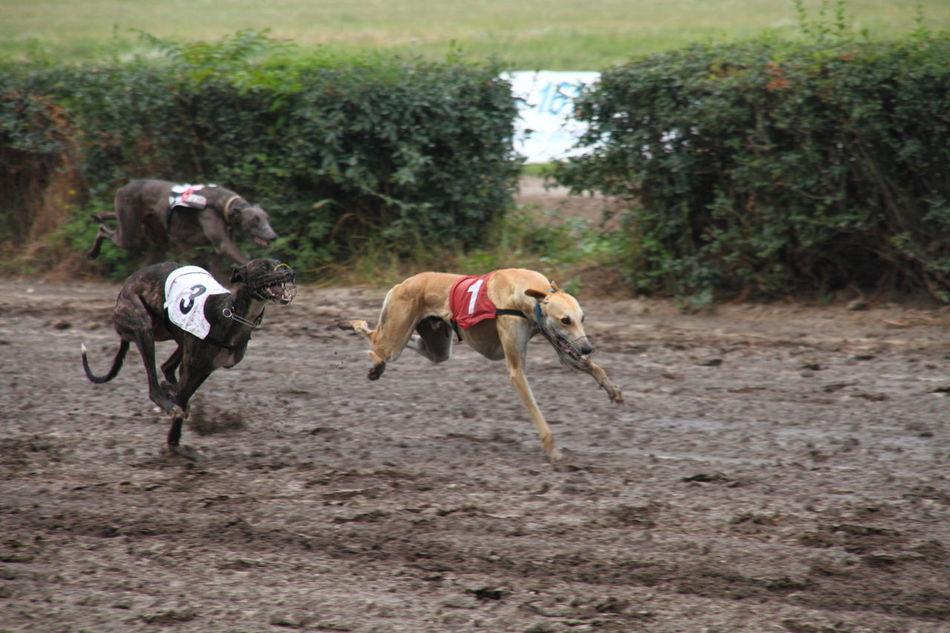 Animal Themes Day Dog Domestic Animals Greyhound Racing Hound No People Outdoors Pets Racing