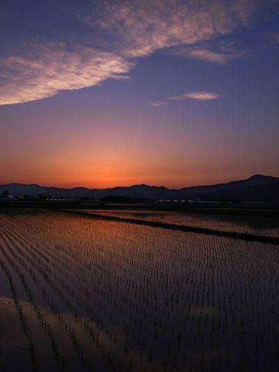 Sunset Rice Field 徳島県