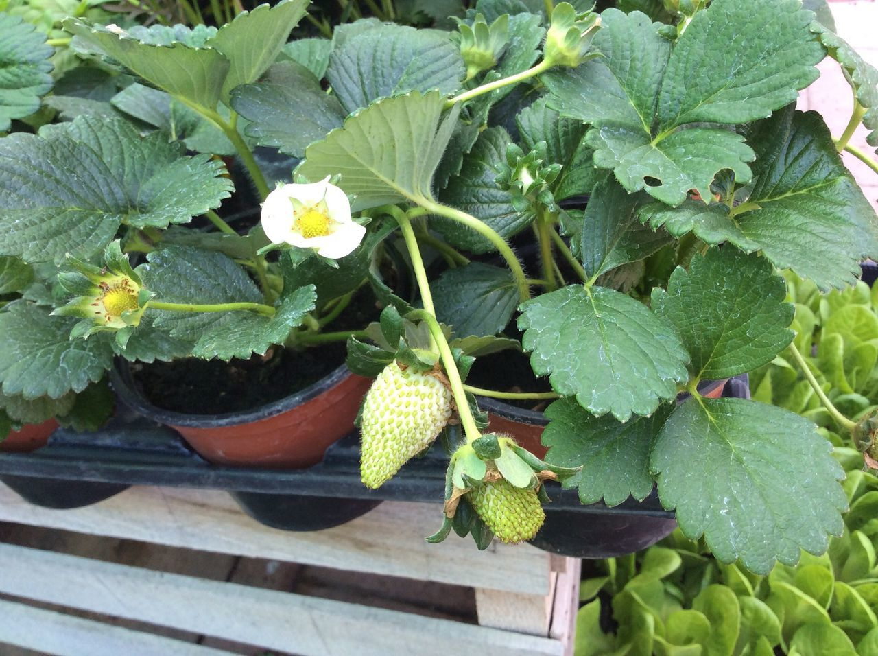 Natural Green  Pots Flower Shop Natural Strawberry Flower Strawberry Flower Growing Strawberry Green Strawberry