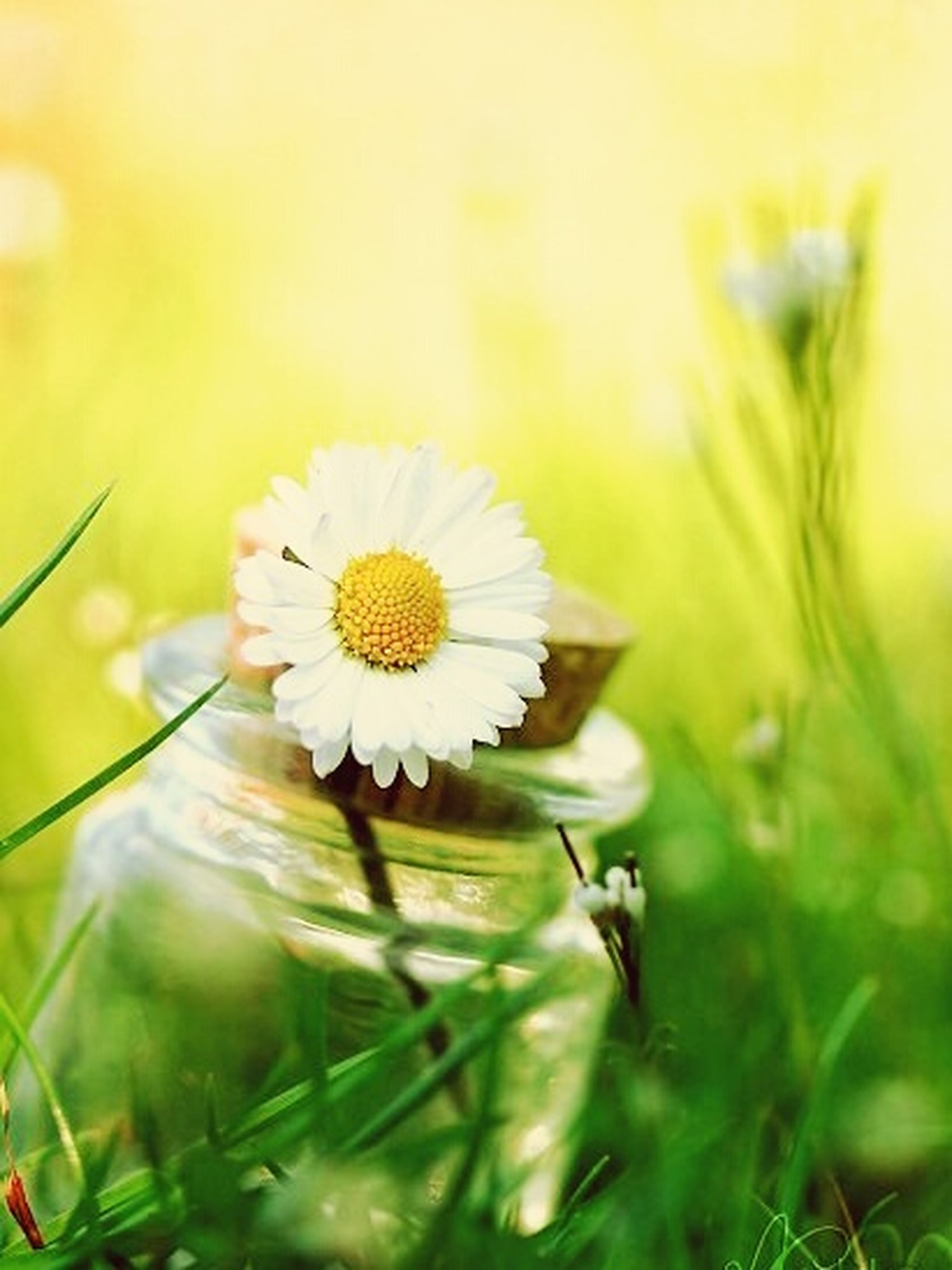 flower, freshness, fragility, flower head, growth, white color, petal, single flower, beauty in nature, close-up, daisy, focus on foreground, nature, pollen, dandelion, plant, blooming, white, stem, selective focus