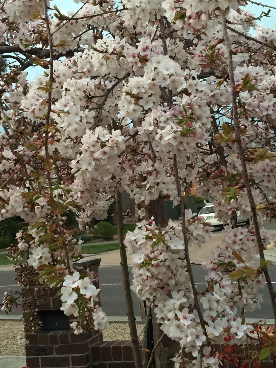 Cherry flowers blooming on tree