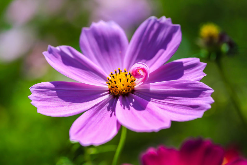 Off season, farmer feed the field by plant wildflowers Beauty In Nature Butterfly Flower Close-up Day Flower Flower Head Flowers Field Focus On Foreground Fragility Freshness Nature No People Off Season Outdoors Petal Pink Color Plant Pollen Purple Taiwan Wildflowers Winter Zinnia